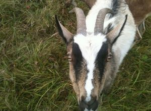 Пара чужих коз и реакция стада. ну и о жизни немного