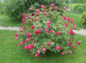 Парковая роза джон дэвис - изюминка вашего сада