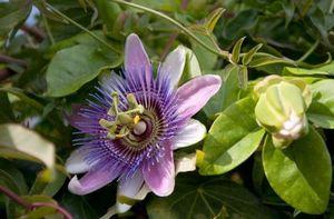 Пассифлора голубая - экзотическая лиана на подоконнике