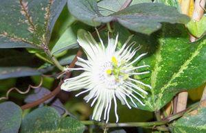 Пассифлора из семян: подготовка почвы, посадка семян и правильный уход