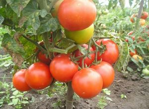 Пасынкование помидор: сроки, правила и преимущества