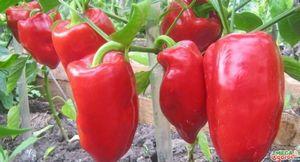 Перец подарок молдовы: описание сорта и технология выращивания
