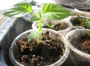 Перец сорта «ласточка»: описание культуры, характеристики и тонкости выращивания