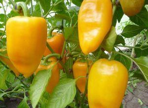 Перец в теплице: посадка и уход, формирование куста и удобрение