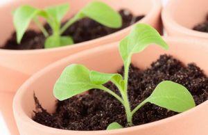 Петуния: посев семян на рассаду, пикировка и уход