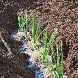 Пикантный лук-порей: посадка, выращивание, применение