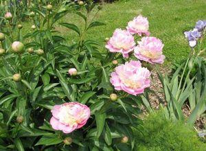 Пион молочкоцетковый: правила выращивания для украшения сада и в качестве народного средства