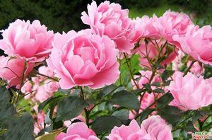 Пион: выращивание и уход за цветами