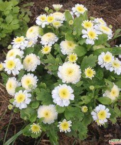 Пиретрум девичий - красивое и неприхотливое растение для сада