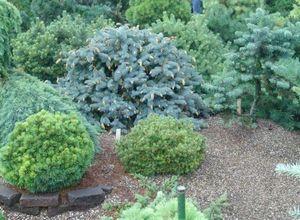 Плакучая береза - верное решение для небольшого сада