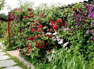 Плетистые розы – украшение сада