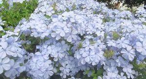 Плюмбаго - красивое растение для дома и сада