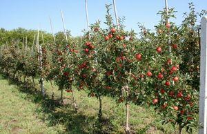 Плодовые деревья на карликовых подвоях