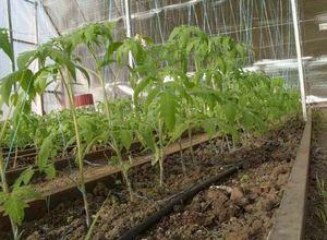 Почему не цветут помидоры в теплице