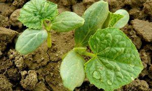 Почему не растут огурцы в теплице