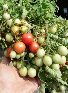 Почему опадает завязь у томатов?