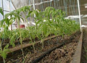 Подходящий уход за помидорами в дачной теплице из поликарбоната