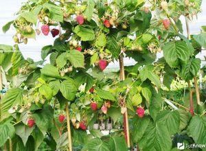 Полезная информация о посадке малины весной
