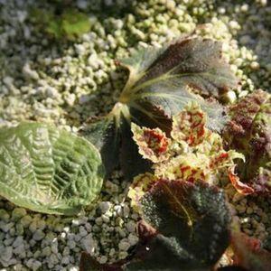 Полезные советы для цветоводов: как правильно размножать бегонию черенками