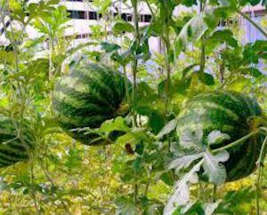 Полезные советы: как правильно выращивать дыню в теплице
