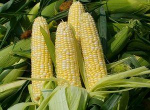 Полезные свойства кукурузы, лучшие сорта и правила выращивания