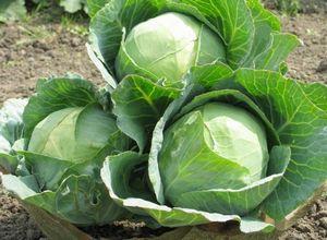 Полезные свойства синей капусты, размножение и уход за рассадой