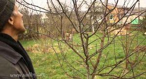 Полив и формирование кроны груш и яблонь