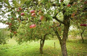 Польза и вред прищипки и обрезки карликовых яблонь