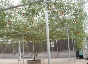 Помидорное дерево спрут f1: характеристика и выращивание