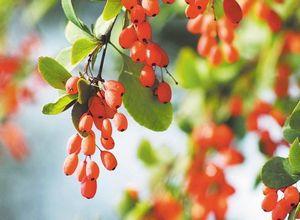 Посадка барбариса и технология ухода за ним: советы от садоводов
