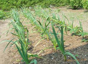 Посадка чеснока и его выращивание без секретов