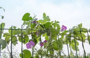 Посадка и уход за ипомеей: как вырастить красочную лиану