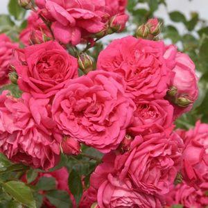 Посадка и выращивание роз весной в сибири + выбор зимостойких сортов