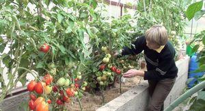 Посадка и выращивание томатов в дачной теплице из поликарбоната