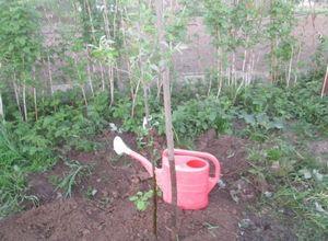 Посадка яблонь весной: как сделать все правильно?