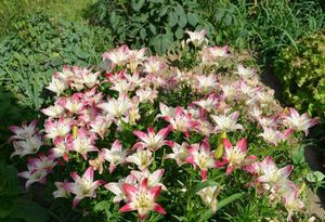 Посадка лилий весной в грунт: рекомендации опытных садовов