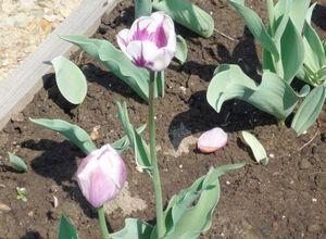 Посадка луковичных цветов осенью (под зиму) и правила их выращивания