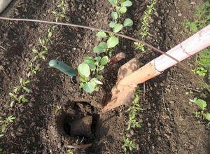 Посадка редиса весной - подготовка семян и посев в открытый грунт