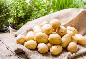 Повышение урожайности картофеля: способ посадки, подкормка и стимуляторы роста