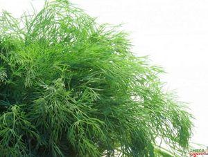 Правила и преимущества выращивания укропа на гидропонике