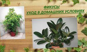 Правильное выращивание фикуса в домашних условиях