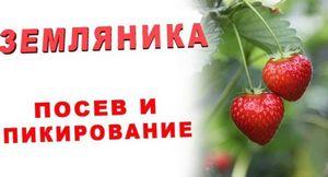 Правильное выращивание клубники из семян в домашних условиях