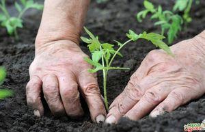 Правильное выращивание рассады помидор - залог хорошего урожая