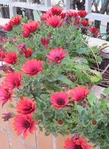 Прекрасные цветы - сандевилла, маргаритка капская, гаура