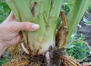 Прекрасные лилейники: выращивание на дачном участке