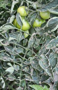 Препарат стробы – борьба с грибковыми заболеваниями растений