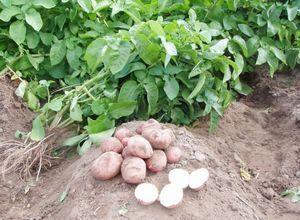 При каких условиях можно получить ранний урожай картофеля?