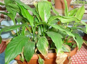 Причины пожелтения листьев у комнатных растений и методы лечения