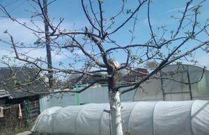 Приемы обрезки молодых деревьев