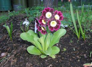 Примула ушковая - красочный символ весны